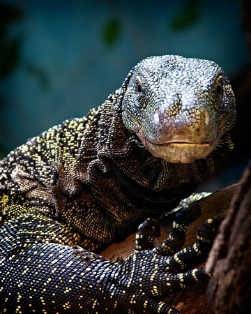 A Crocodile Monitor Portrait