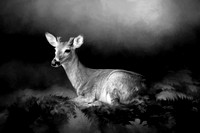 A Young Buck - B&W